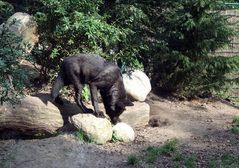 Wolf im Zoo Hannover
