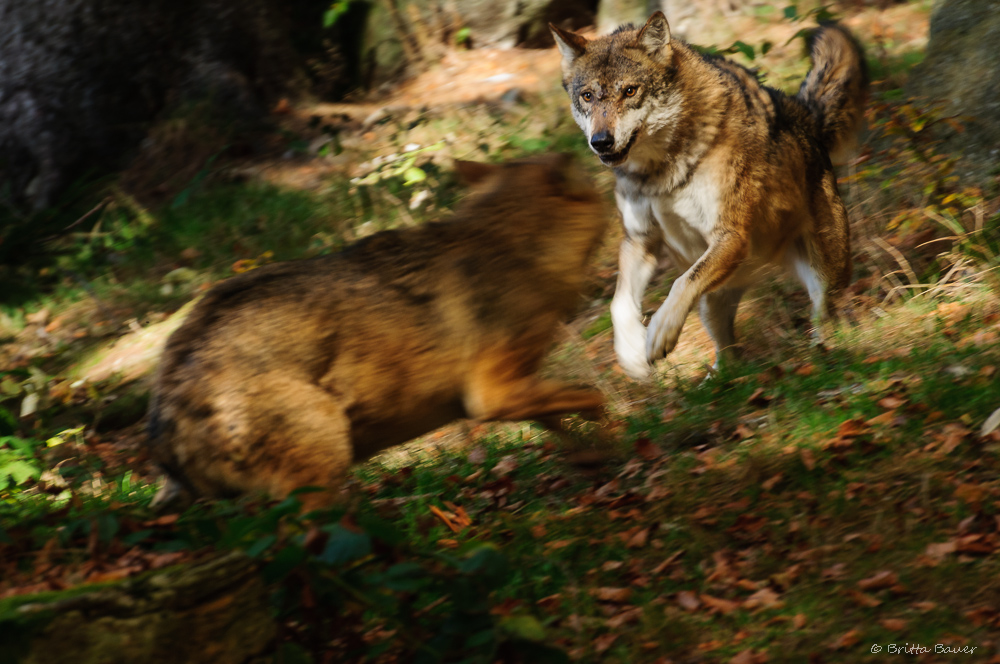 Wolf in Action