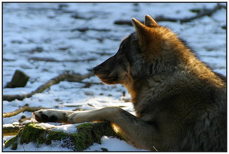 Wolf in der winterlichen Morgensonne - #2