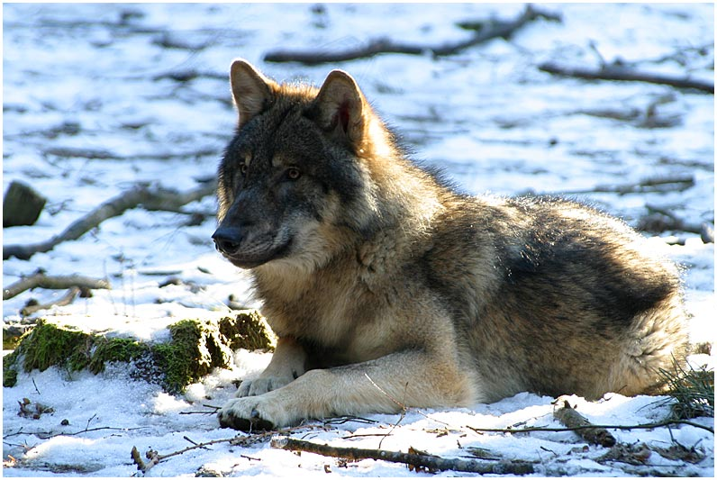 Wolf in der winterlichen Morgensonne