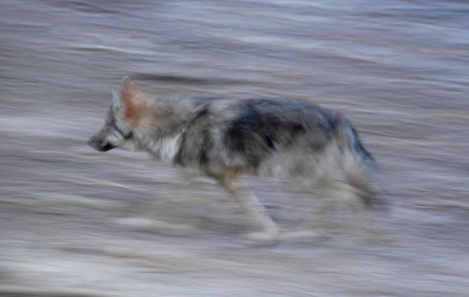 Wolf in einem Wildpark