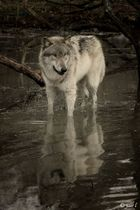 WOLF IN Water Reflection