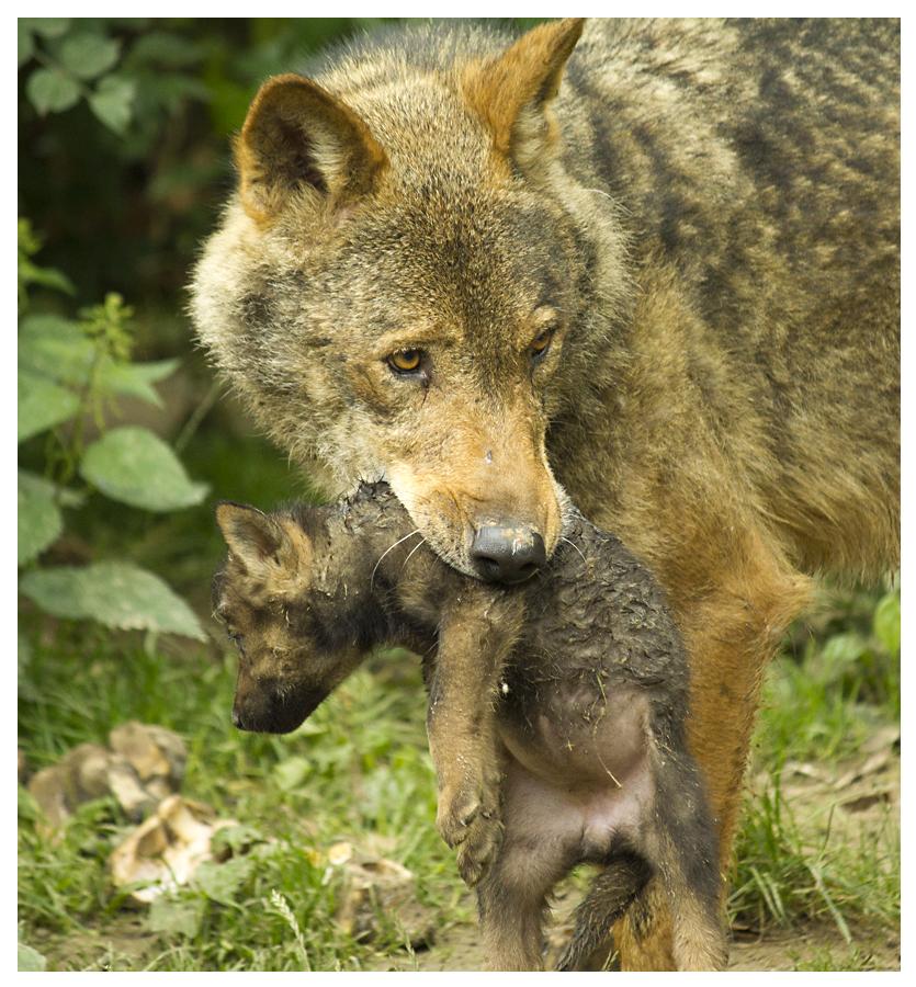 Wolf Mit Baby Im Mund Foto Bild Tiere Zoo Wildpark Falknerei