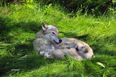 Wolf mom & pup