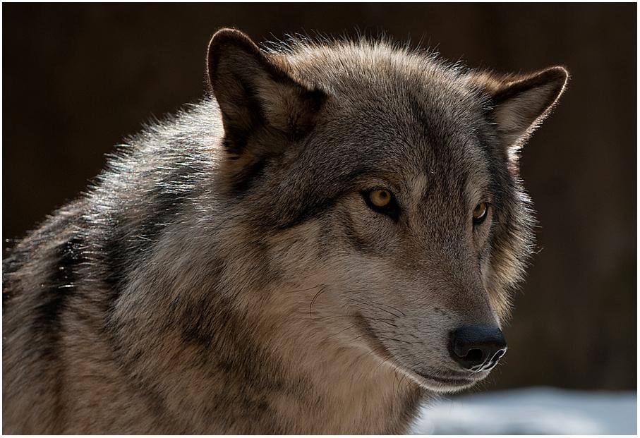 Wolf Nummer 1