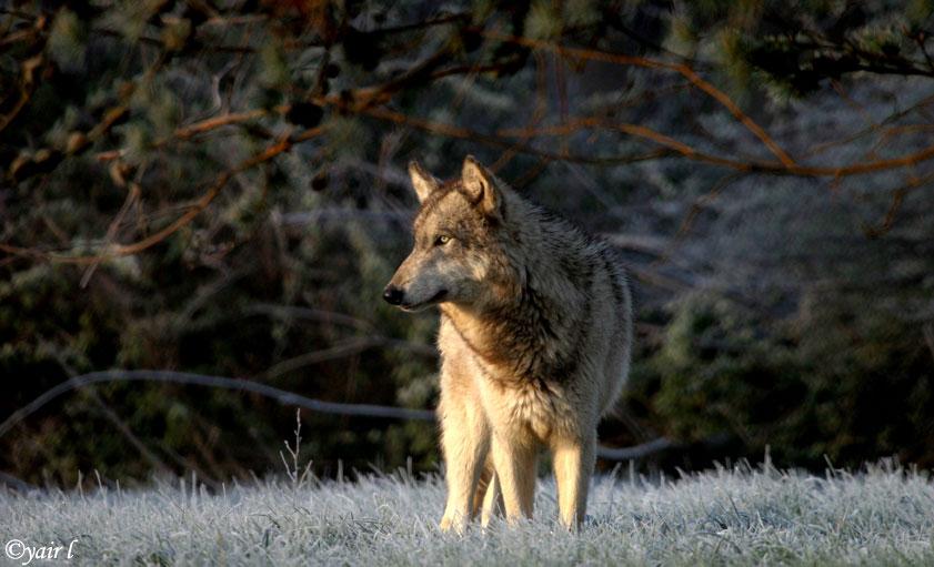 wolf on Frozen Grass