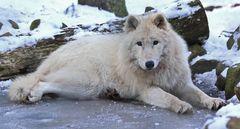 Wolf on Ice 2011