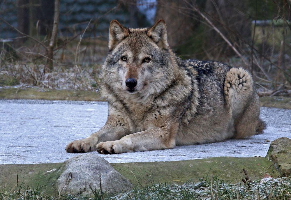 Wolf on ice