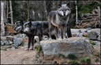 *Wolf -Pack*