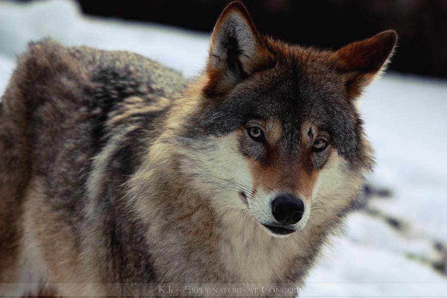 Wolf Ronja