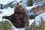 Wolf und Bär III