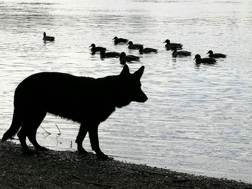 Wolf und Entlein