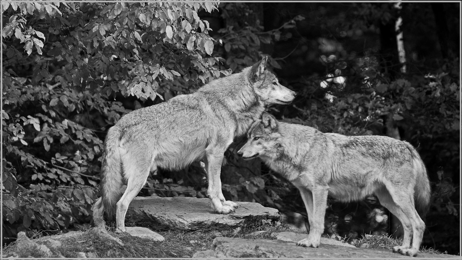 Wolf und Wölfin