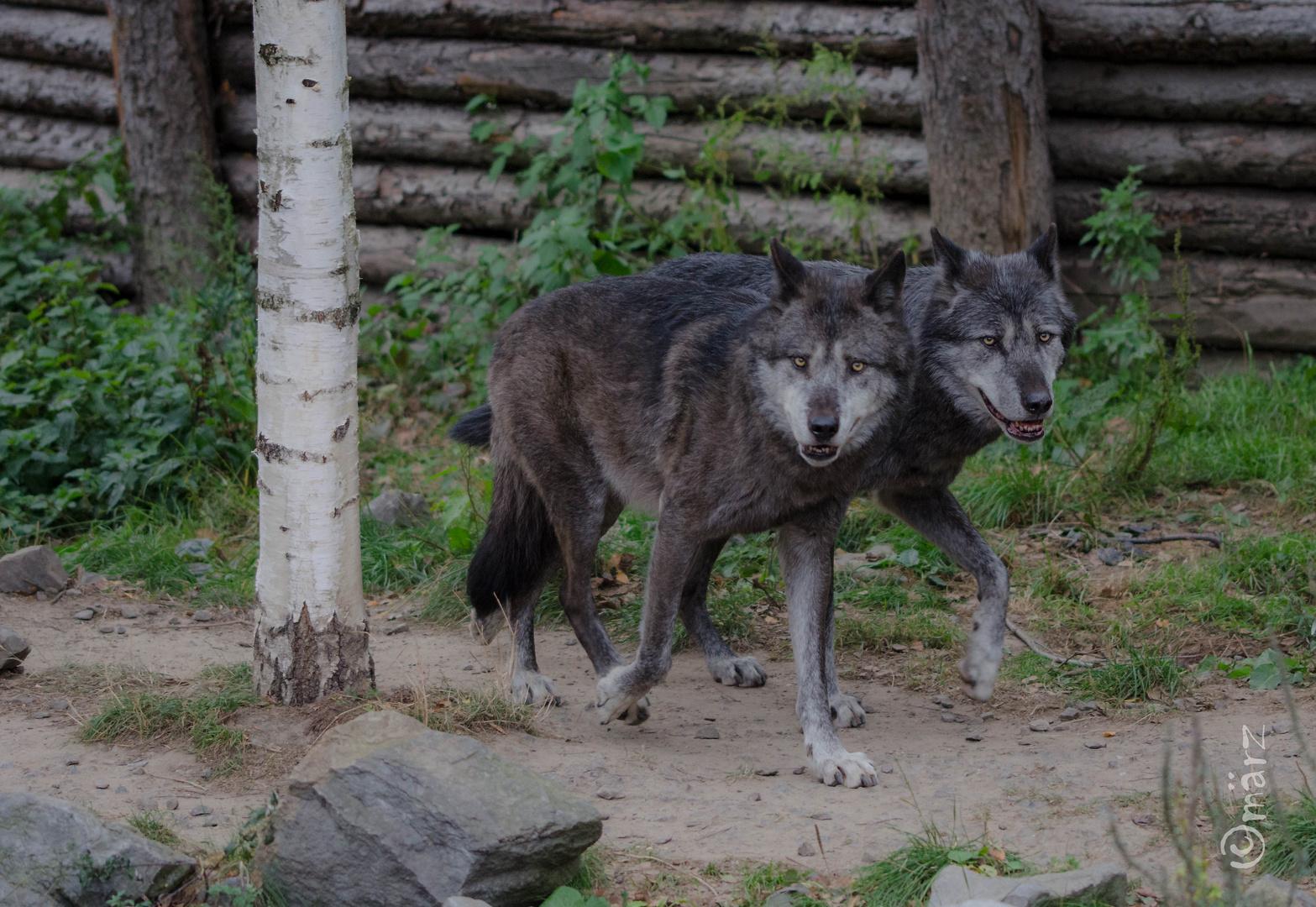 Wolf und Wolf