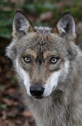 Wolfaugen