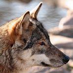 Wolfbruder