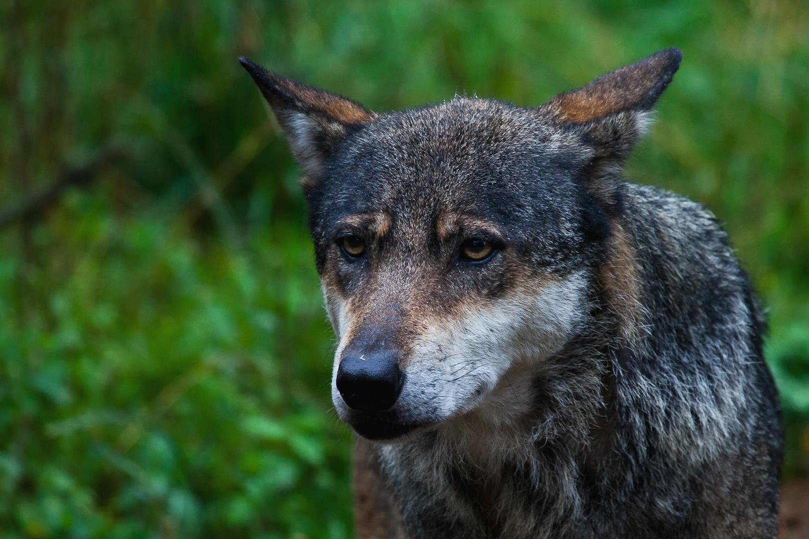 Wolfporträit