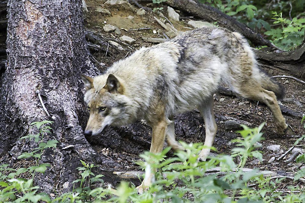 Wolfrüde (Alpha)