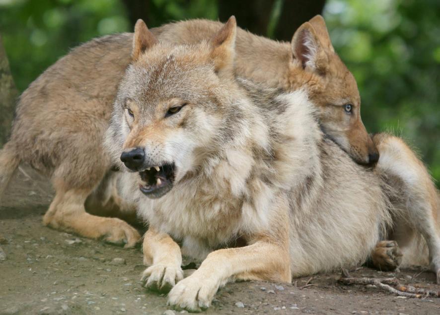 Wolfs Junge