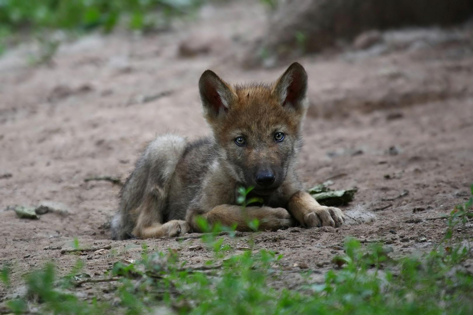 Wolfsbaby Foto Bild Natur Wolf Tiere Bilder Auf Fotocommunity