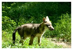 Wolfsbaby