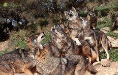 Wolfsballet