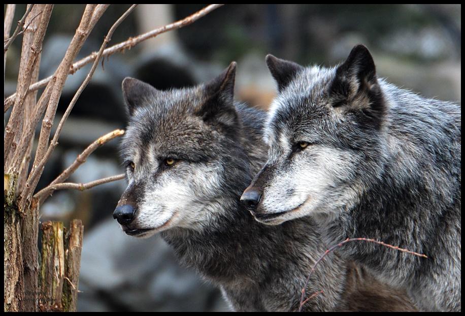 ~~ Wolfsbrüder ~~