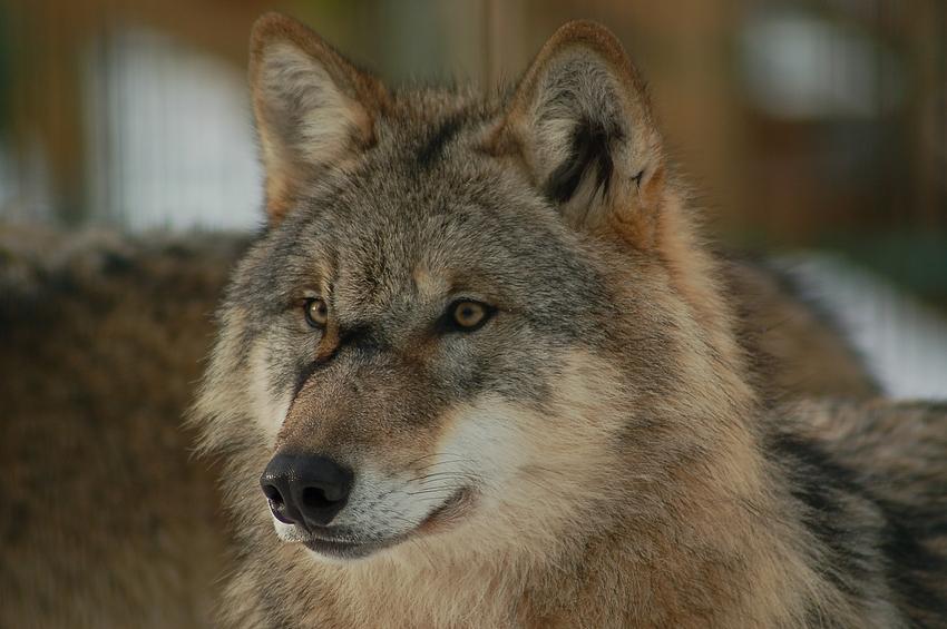 Wolfscenter Dörverden
