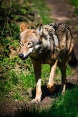Wolfschau