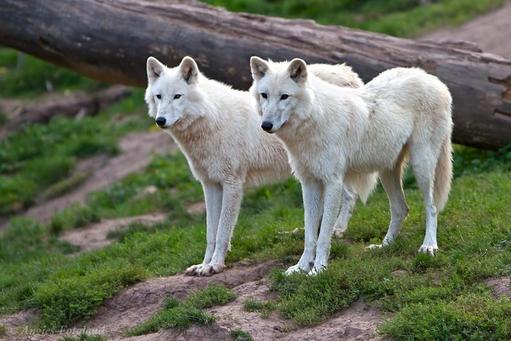 Wolfsduo...