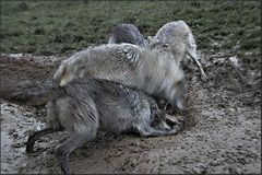 Wolfsfütterung