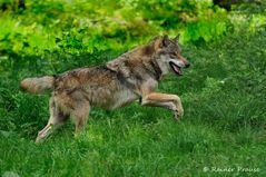 Wolfsgalopp