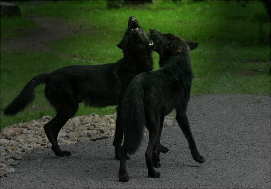WolfsGEheul :-)