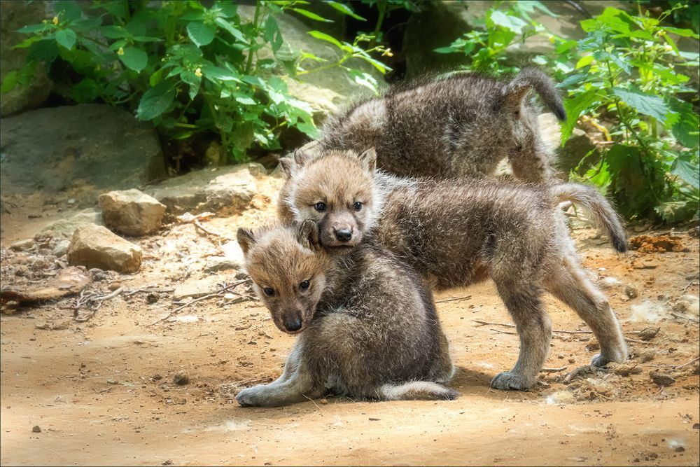 Wolfsgeschwister