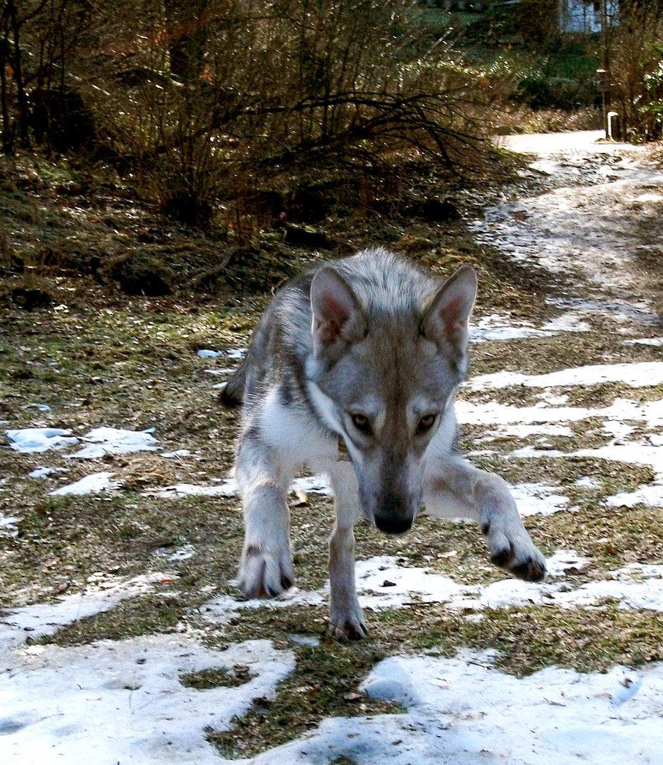 Wolfsjazzdance
