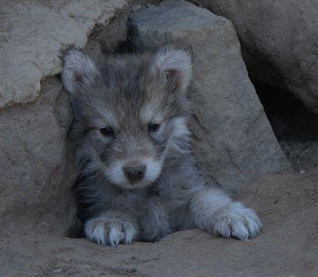 Wolfsbaby Fotos Bilder Auf Fotocommunity