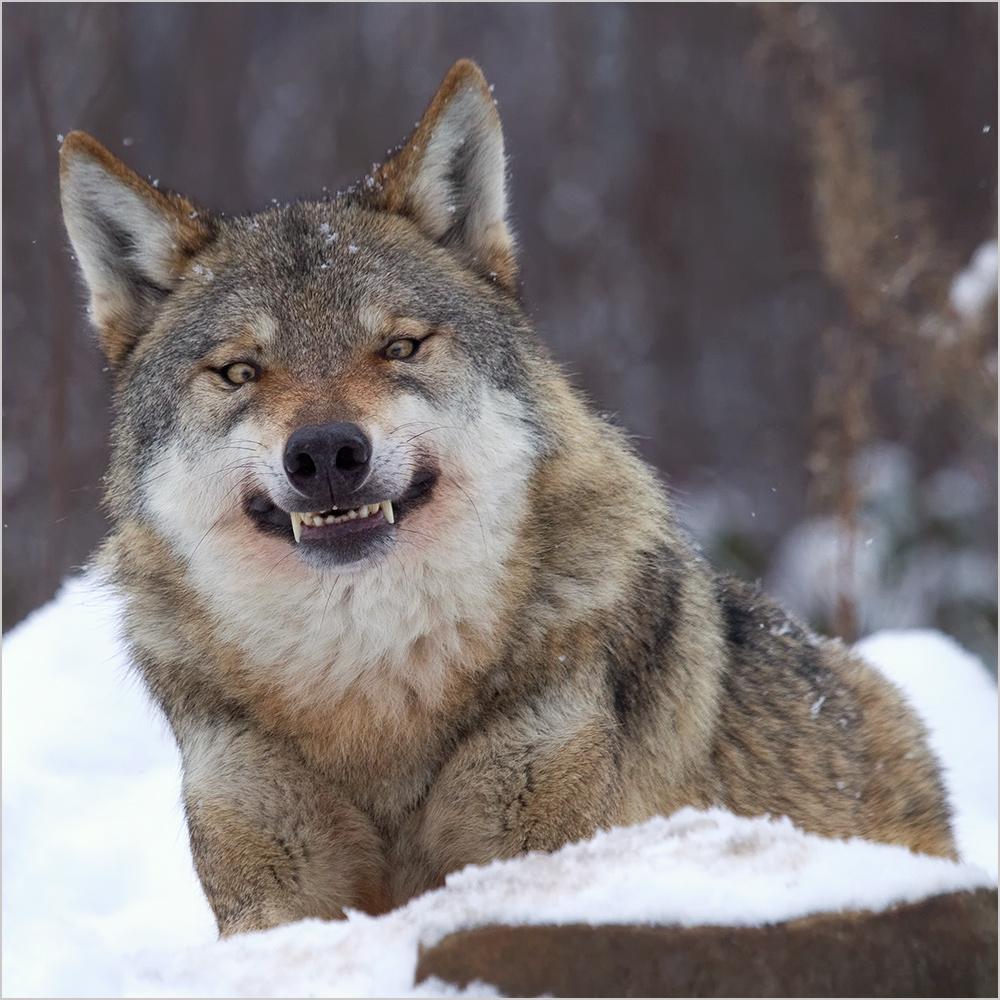"""""""Wolfslächeln"""""""