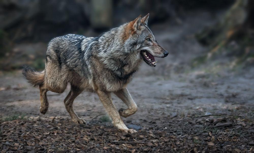 Wolfslauf