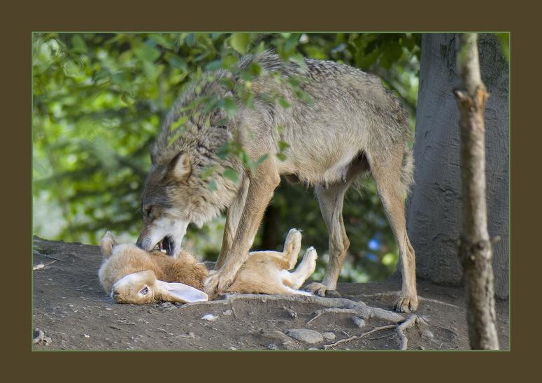 Wolfsmahlzeit