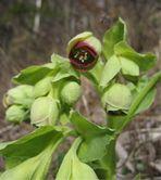 Wolfsmilch Blüte II
