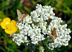 Wolfsmilch-Spanner (Minoa murinata) mit Milben. - La Souris, un petit papillon de nuit.