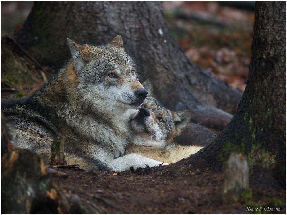 Wolfspärchen