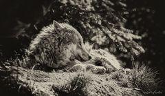 ~Wolfspause~