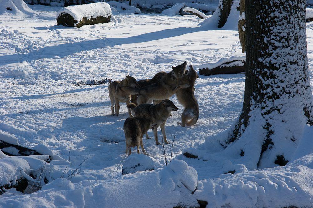 Wolfsrudel.