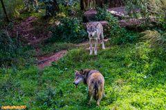 Wolfsrudel streng nach Hierachie