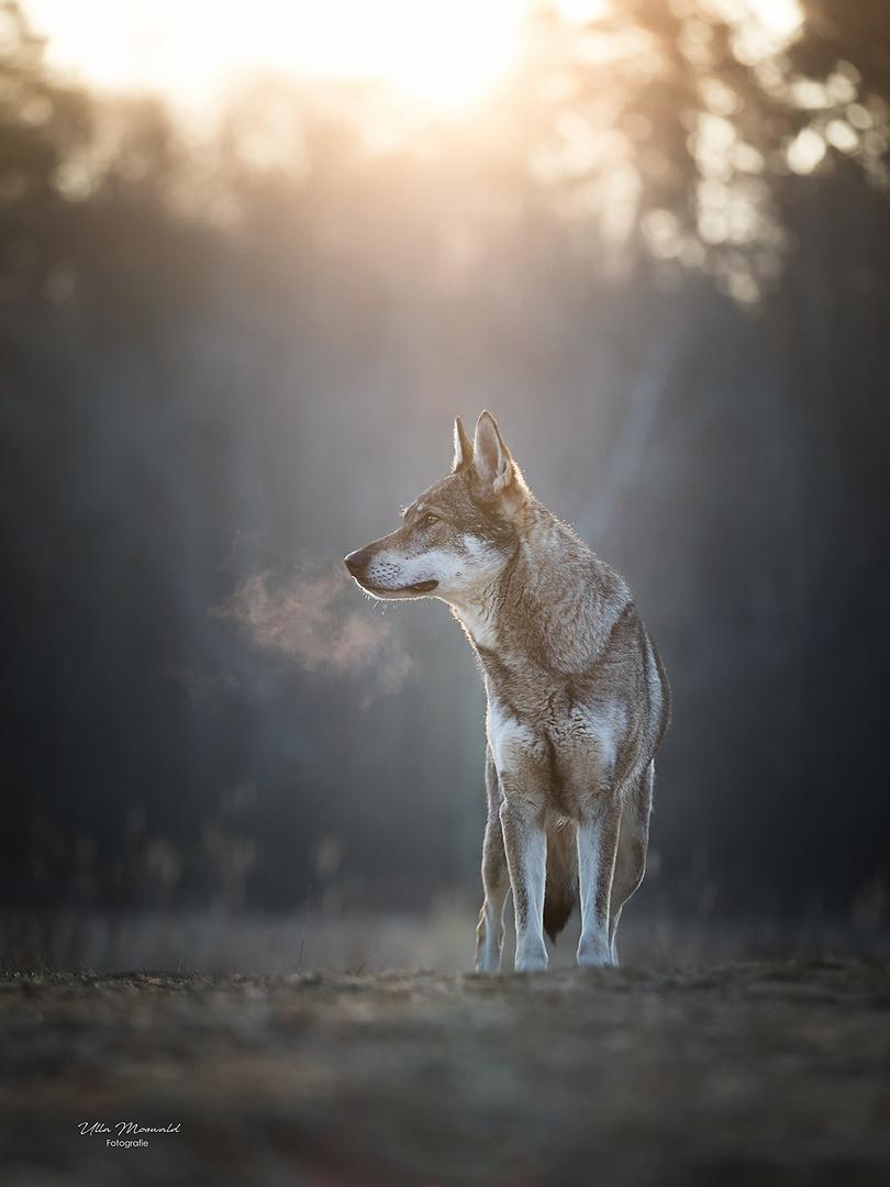 ...Wolfssichtung...
