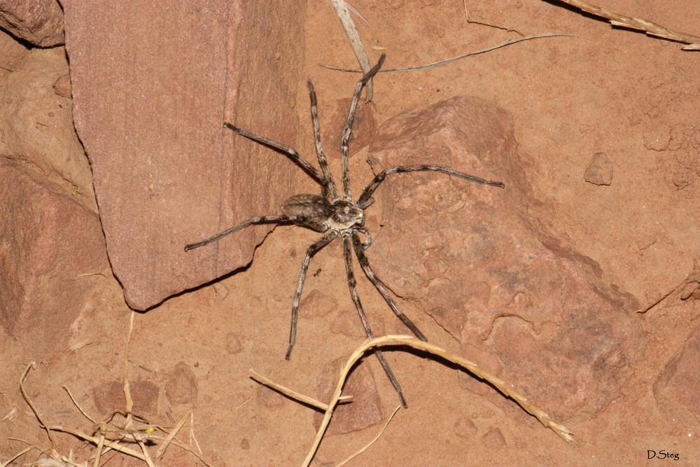 Wolfsspinne aus Marokko.