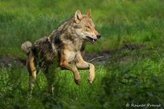 Wolfssprung