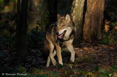 Wolfstrab