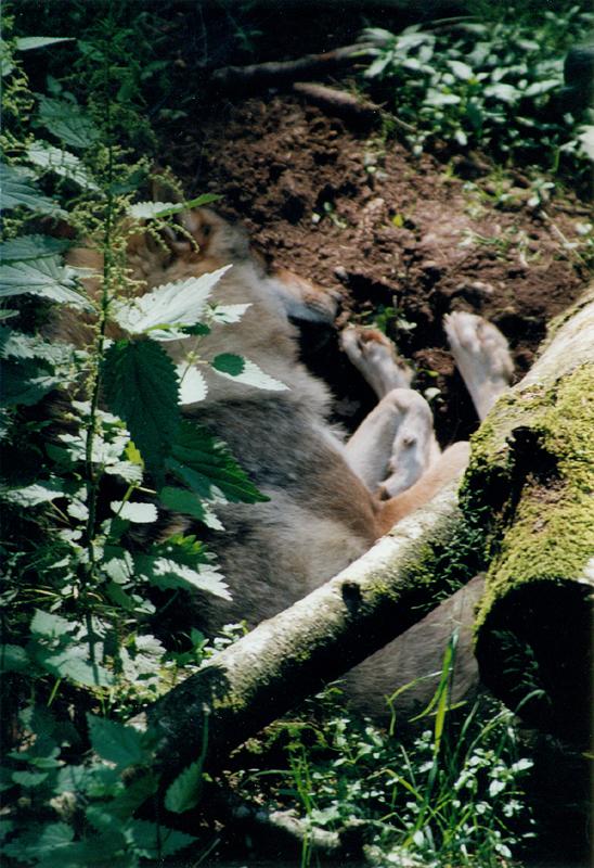Wolfsträume